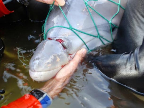ВЧерном море браконьеры отлавливали краснокнижных дельфинов