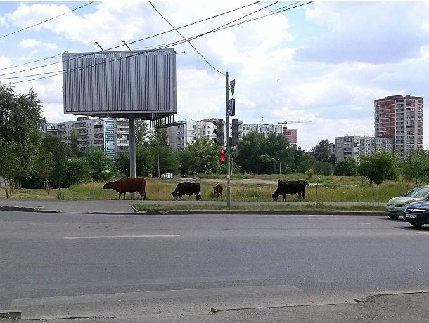 Разговоры об умиротворенно пасущихся коровах и козах плавно перетекли в причитания по поводу отсутствия метро в Ростове