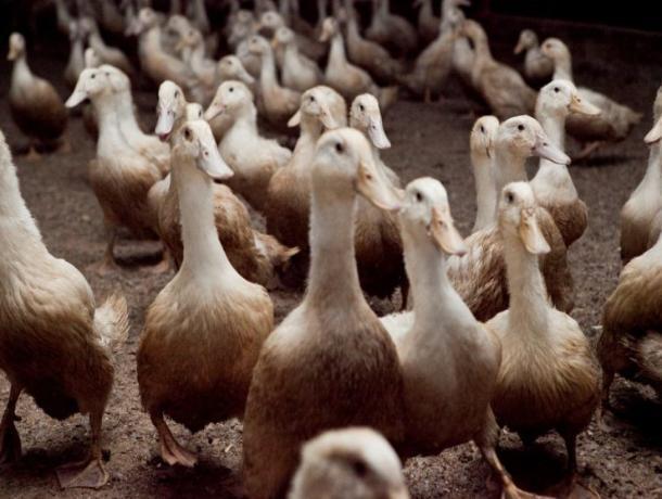 Компания из Волгограда хочет обанкротить ростовского производителя утки