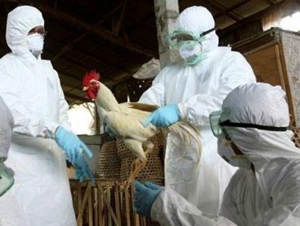 С дикой вонью паленых тушек уничтожают в Ростовской области очаг смертельно опасного птичьего гриппа