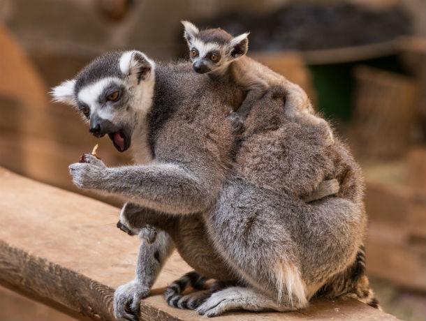 Сразу трое малышей лемура появились на свет в ростовском зоопарке