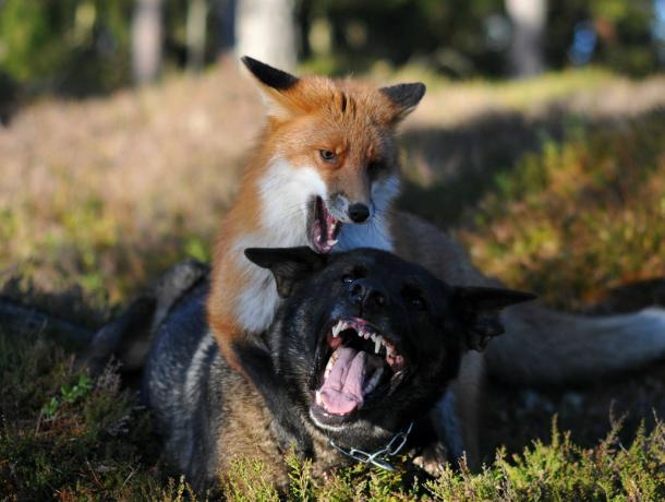 Бешеные лисы активизировались истали нападать насобак вРостовской области