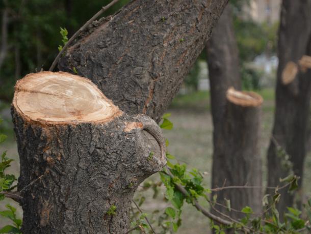 Отваливающимися от опасно сухих деревьев ветками засыпает прохожих в Советском районе Ростова