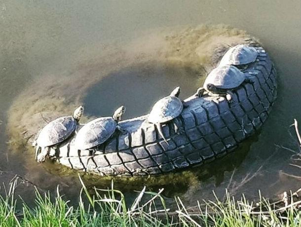 «Семейная идиллия»: очаровательные черепашки на шине заставили улыбнуться ростовчан