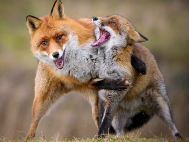 Сразу три бешеные лисицы попались на прицел охотникам в Ростовской области