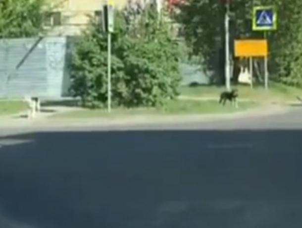 Переходившие дорогу «по всем правилам» умные дворняги пристыдили жителей Ростова на видео