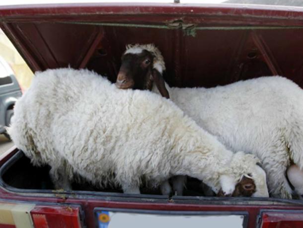 ВРостове задержали женщину закражу овец на100 тыс. руб.