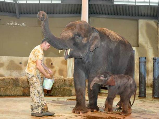 ВРостове выбрали имя новорожденному слоненку