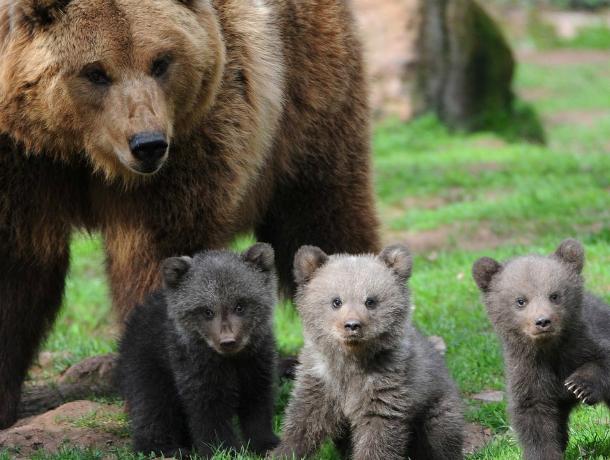 Готовясь стать матерью троих детей, медведица из белокалитвинского зоопарка не впала в спячку