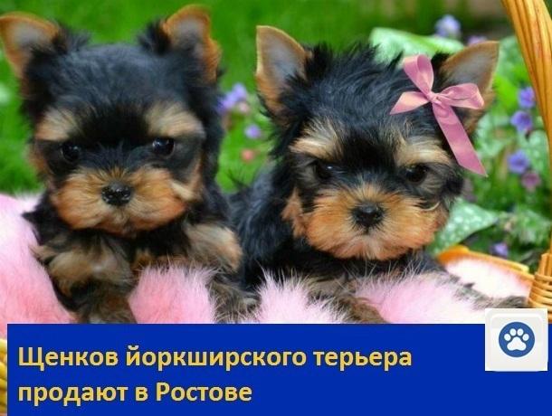 Милых щенков йоркширского терьера продают в Ростове