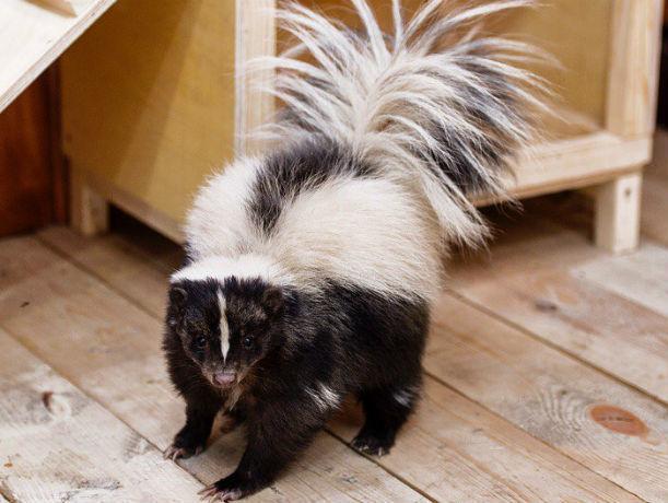 ВРостовском зоопарке появились скунсы без запаха