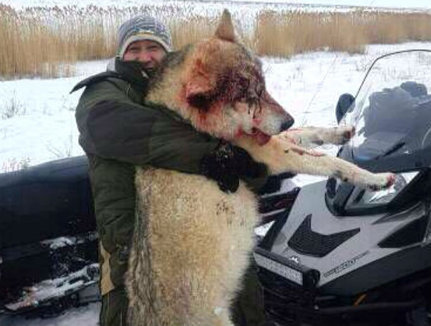 Охотники убили огромного волка, который разорвал собак и перегрыз свиней в Ростовской области