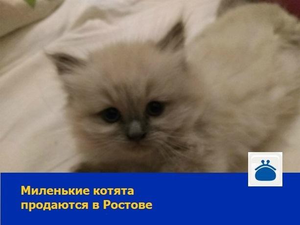 Миленьких котят-мальчиков продают в Ростове-на-Дону
