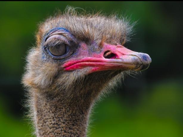 В Ростове бежавший из плена в жаркую Африку неуловимый страус попал на видео