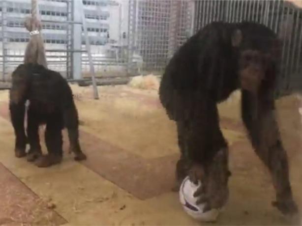 Обезьяны из Ростова сыграли свой первый футбольный матч с жестокими потерями