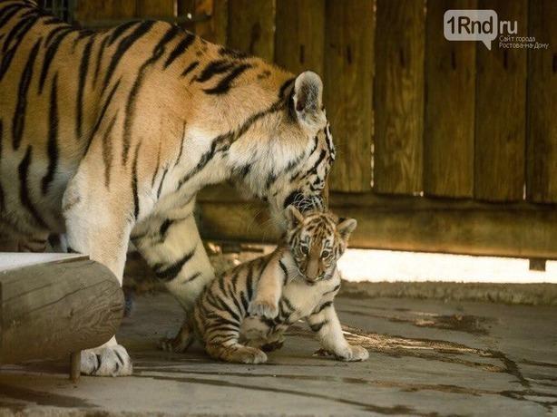 Навыходных вростовском зоопарке гостям планируют показать новорожденного тигренка
