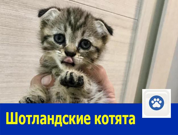 Очень красивых шотландских котят продаю в Ростове