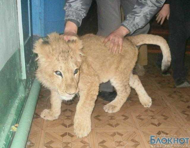 Львенка, найденного в Сальском районе, привезли в Ростов