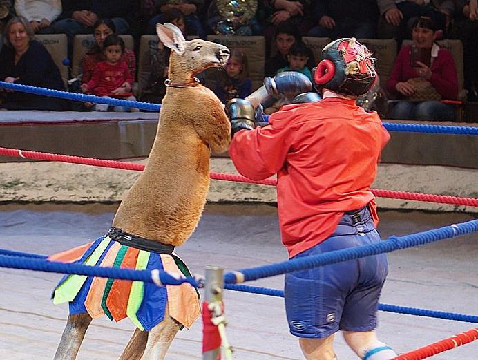 Беспощадный кенгуру нокаутировал артистов цирка в Ростове