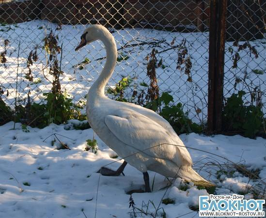 Имя лебедю, спасенному на замерзающем пруду, придумают ростовчане