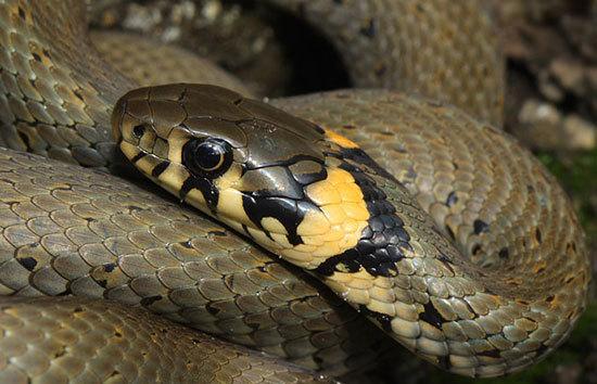 В Новочеркасске змея хотела выжить хозяев из дома