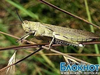 В Ростовской области введен режим ЧС из-за  саранчи