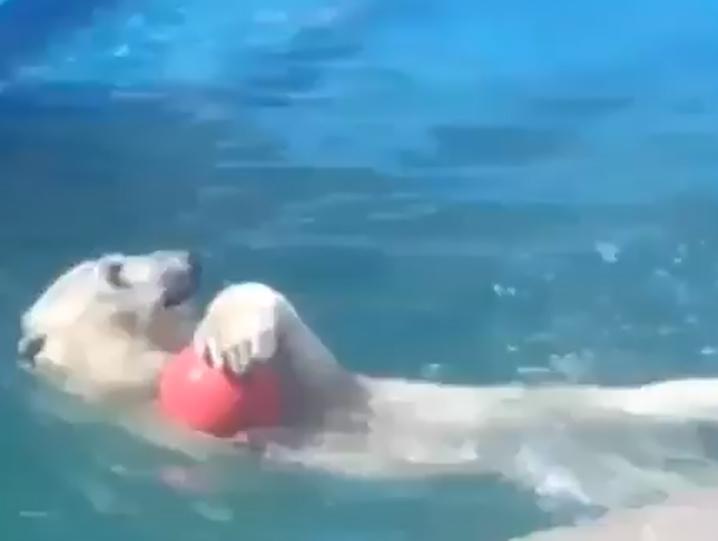 Медведица Комета из ростовского зоопарка сыграла в волейбол на видео