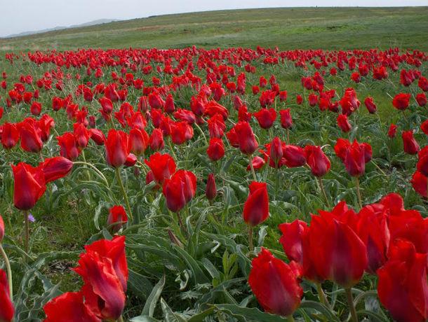 Прекрасные и дикие тюльпаны Биберштейна восхитили жителей Ростовской области