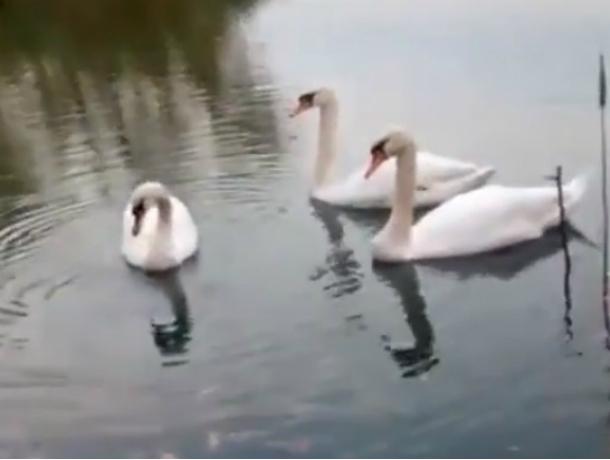 Семья из трех белых лебедей заставила шахтинцев задуматься о супружеской верности