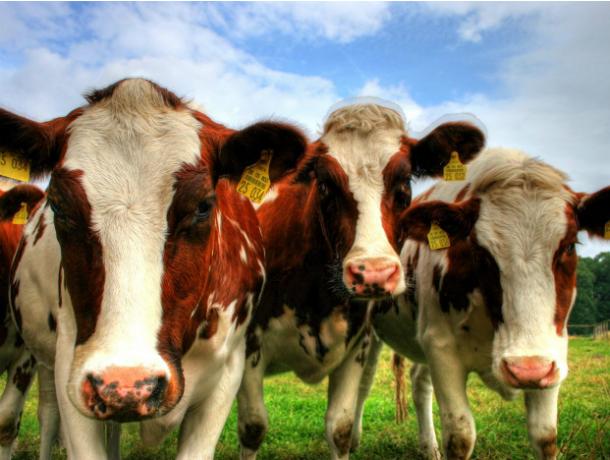 В колхозе Ростовской области умер переволновавшийся из-за голландских коров фермер