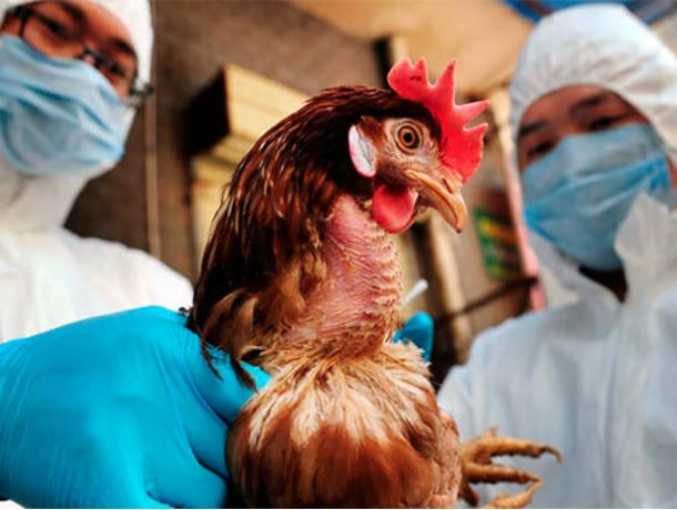 В Ростовской области зафиксировали вспышку птичьего гриппа