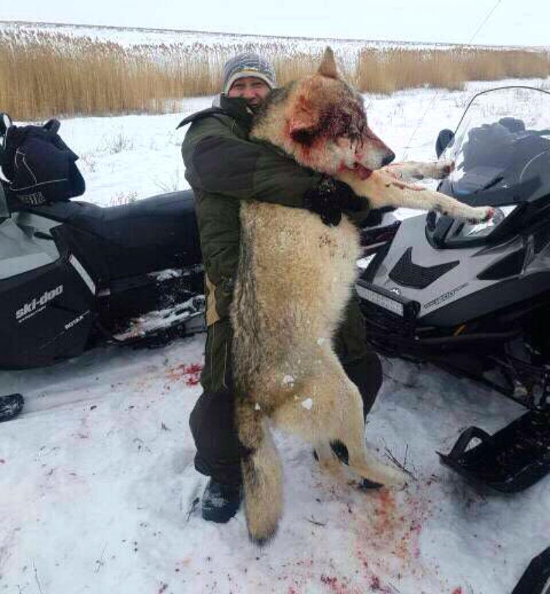 НаДону убили огромного волка, разорвавшего шесть собак иперегрызшего свиней